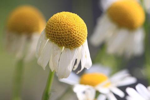 花の中央の黄色い部分が盛り上がっているジャーマンカモミール
