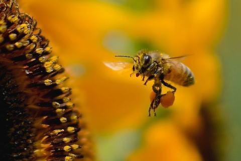 花粉を運ぶミツバチ